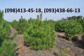Wholesale Christmas trees, wholesale pine Christmas live